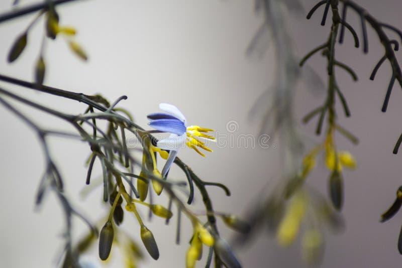 Azul - fondo amarillo de la flor imágenes de archivo libres de regalías