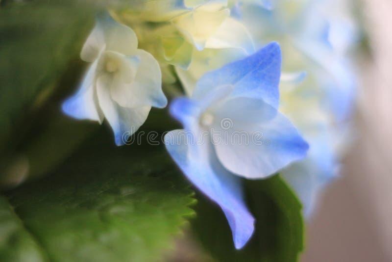 Azul & gotas da flor de Gidrangea foto de stock royalty free