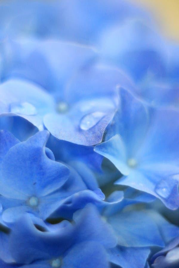 Azul & gotas da flor de Gidrangea foto de stock