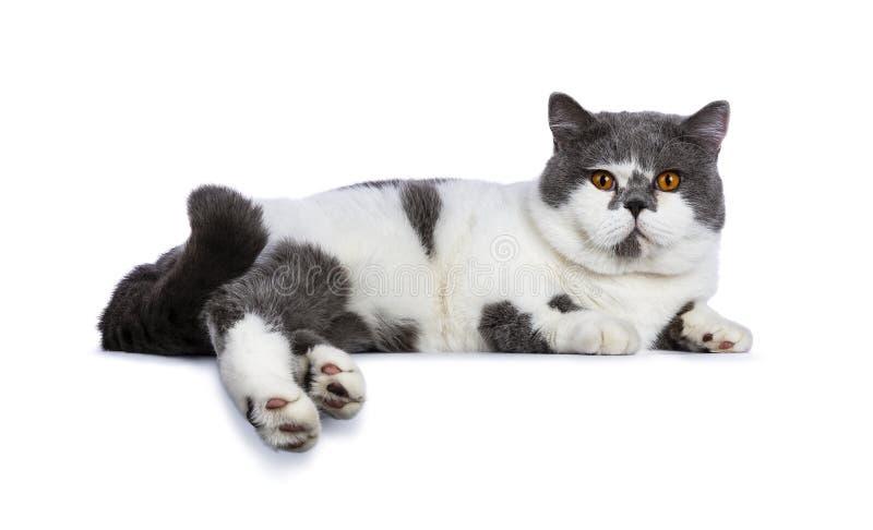 Azul grande con el gato masculino de británicos Shorthair de los ojos anaranjados blancos y brillantes que coloca maneras lateral foto de archivo libre de regalías