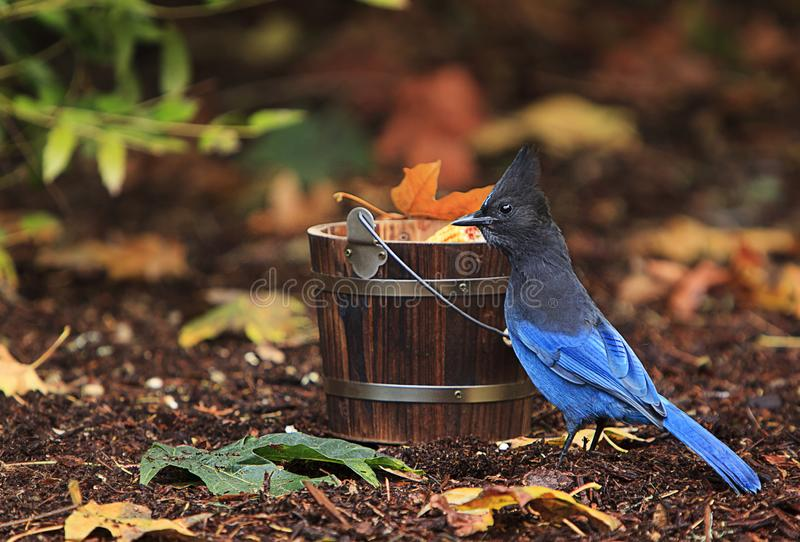 Azul Jay Wooden Bucket Fall Leaves del ` s de Steller imagenes de archivo