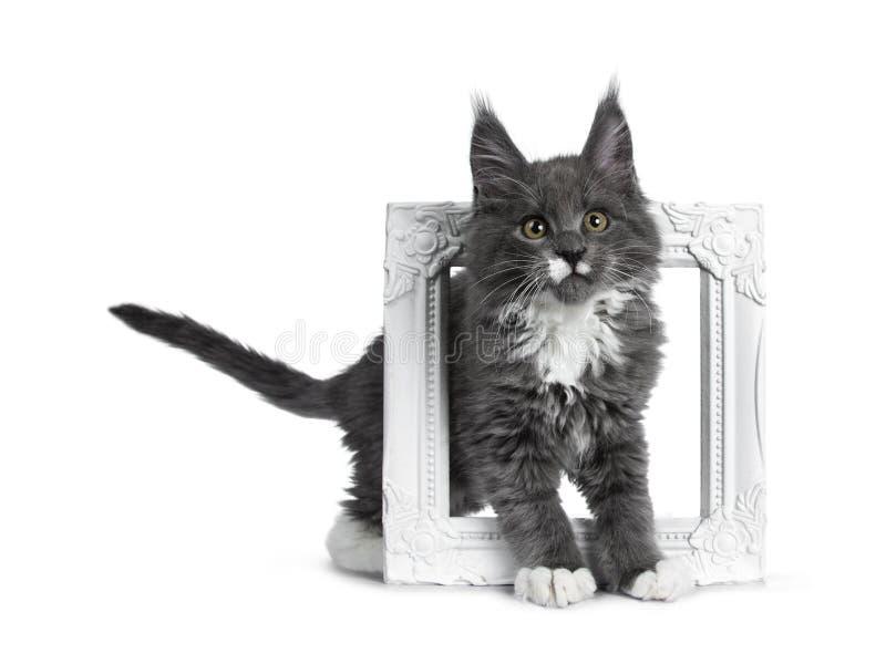 Azul lindo precioso con el gatito blanco del gato de Maine Coon de las marcas en el fondo blanco foto de archivo libre de regalías