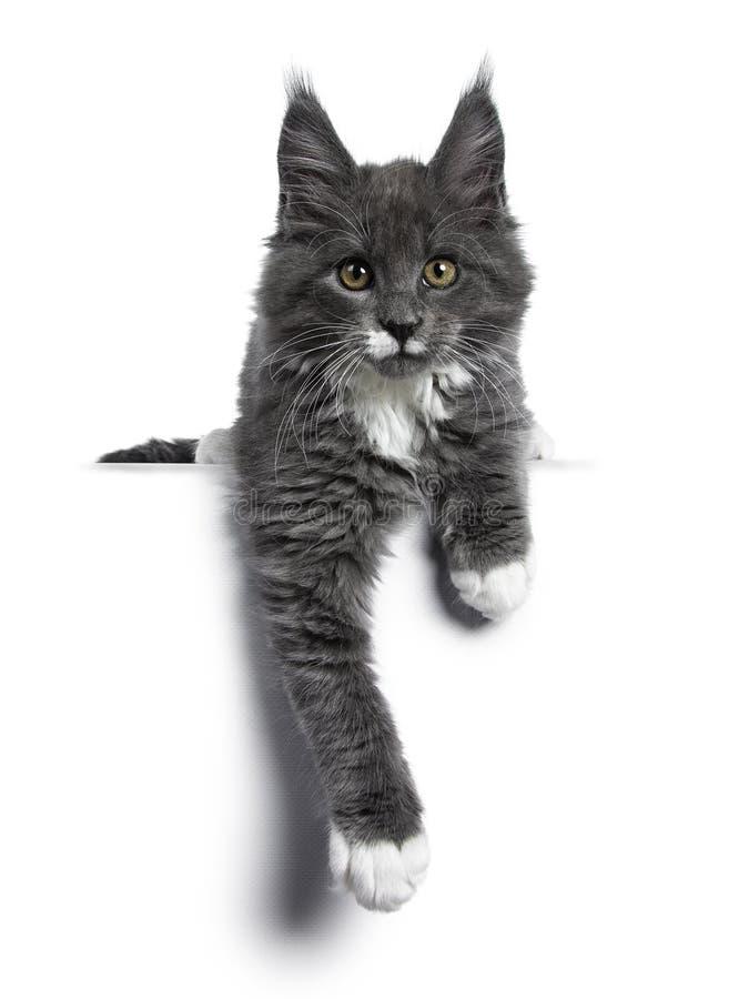 Azul lindo precioso con el gatito blanco del gato de Maine Coon de las marcas en el fondo blanco fotografía de archivo