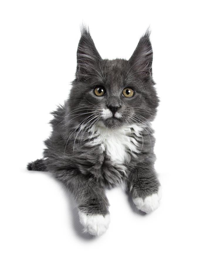 Azul lindo precioso con el gatito blanco del gato de Maine Coon de las marcas en el fondo blanco fotografía de archivo libre de regalías