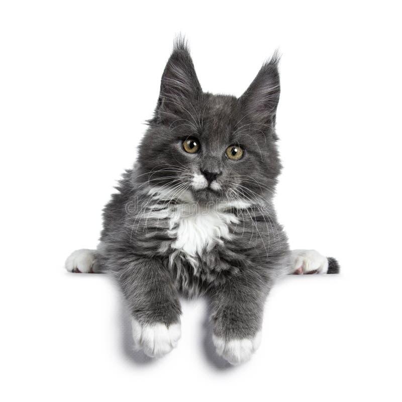 Azul lindo precioso con el gatito blanco del gato de Maine Coon de las marcas en el fondo blanco fotos de archivo