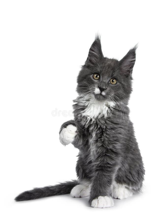 Azul lindo precioso con el gatito blanco del gato de Maine Coon de las marcas en el fondo blanco fotos de archivo libres de regalías