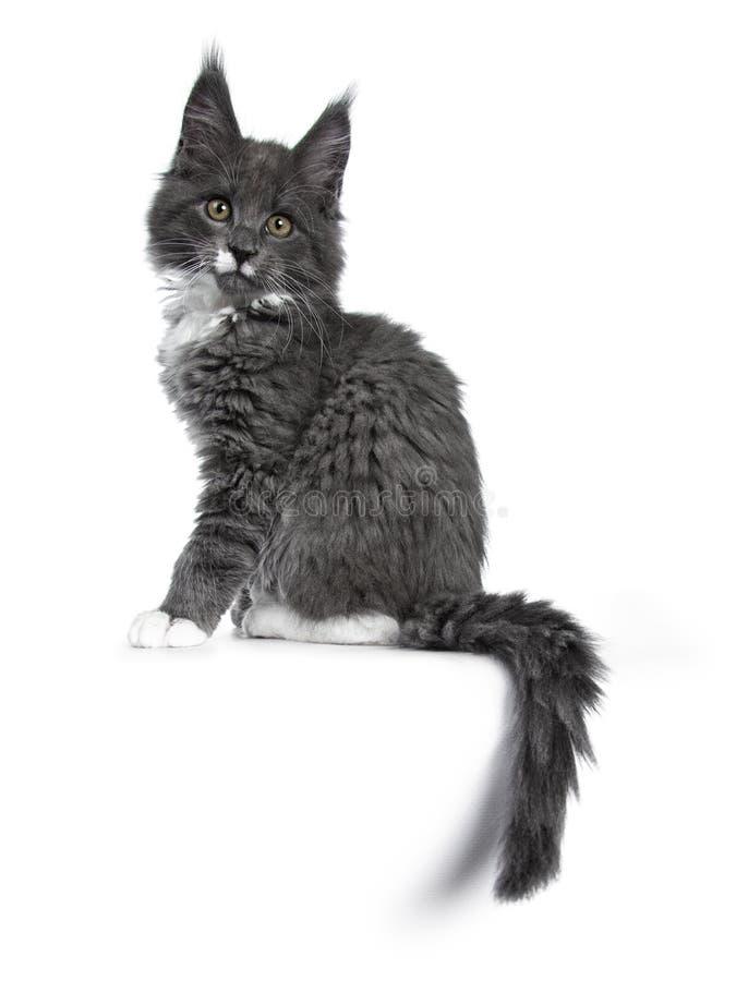 Azul lindo precioso con el gatito blanco del gato de Maine Coon de las marcas en el fondo blanco imagen de archivo