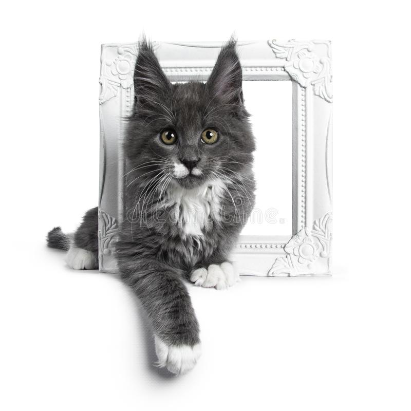 Azul lindo precioso con el gatito blanco del gato de Maine Coon de las marcas en el fondo blanco imagenes de archivo