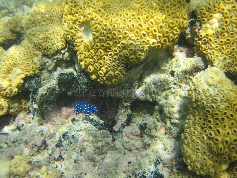Azul minúsculo peixes manchados imagens de stock