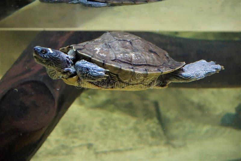 Azul nadador e shimering da tartaruga falsa do mapa foto de stock royalty free