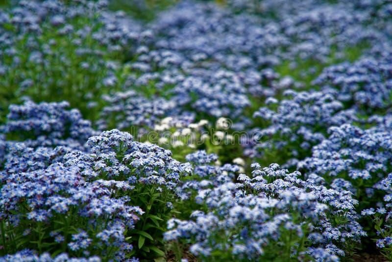 Azul poucas flores no arbusto, fundo da planta do prado: grama ascendente e verde do fim do mios?tis DOF raso fotografia de stock