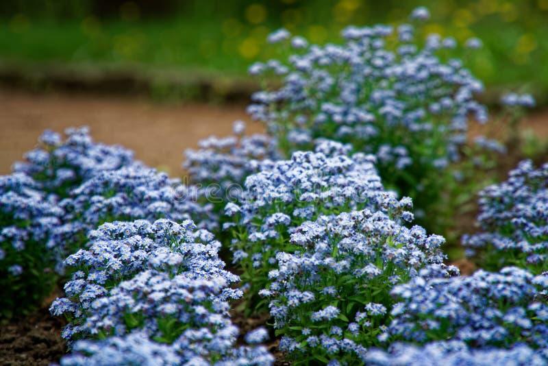 Azul poucas flores no arbusto, fundo da planta do prado: grama ascendente e verde do fim do mios?tis DOF raso fotos de stock royalty free