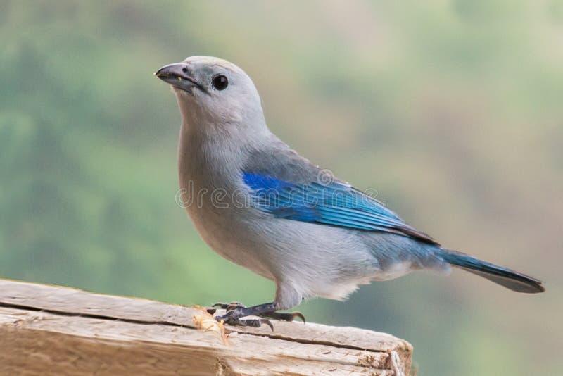 Azul solitario stock photo