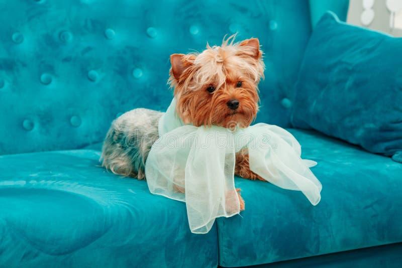 Azul azul tiffany da curva do sofá do terrier do animal de estimação do cão da cor de turquesa do sofá canino da sessão de foto fotografia de stock royalty free