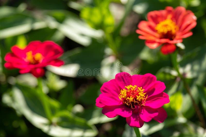 Azul três partes que crescem no jardim fora, rua das flores para a beleza imagem de stock