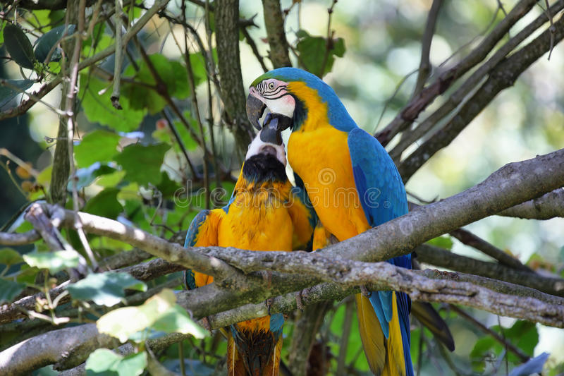 Azul y oro (ararauna del Ara) imagen de archivo libre de regalías