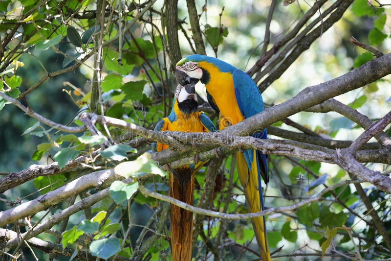 Azul y oro (ararauna del Ara) imagenes de archivo