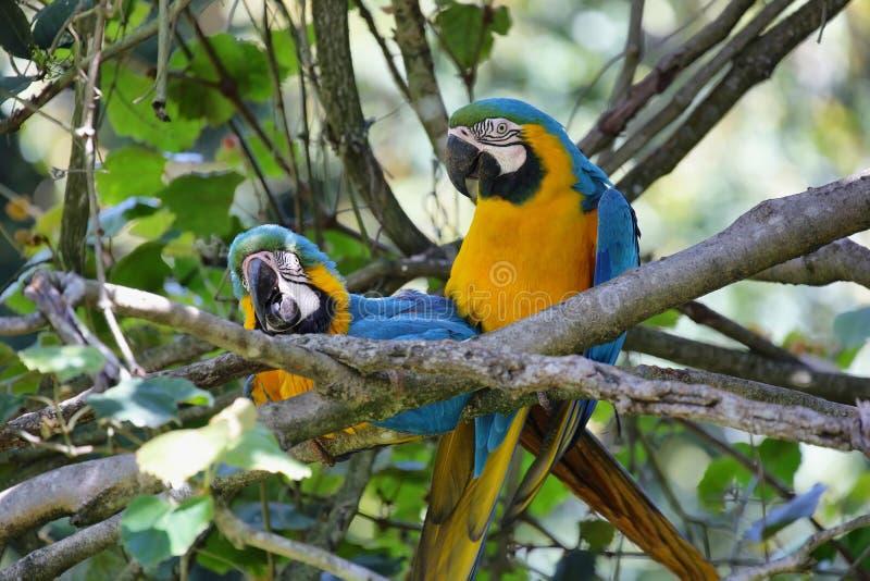 Azul y oro (ararauna del Ara) fotografía de archivo