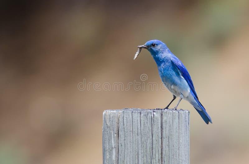 Azulejo de la montaña que exhibe su captura mientras que está encaramado encima de posts de madera resistidos fotografía de archivo