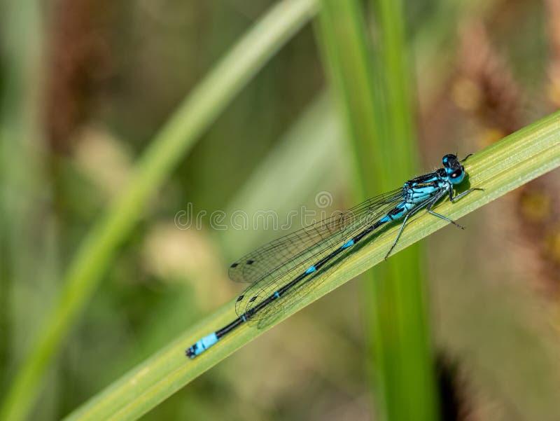 Azur damselfly på ett grässtrå - Coenagrion puella, closeup arkivbild