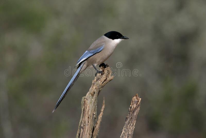 Azur-påskyndad skata, Cyanopica cyana fotografering för bildbyråer