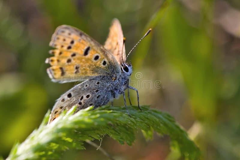 Azurblau auf grünem Gras stockfoto