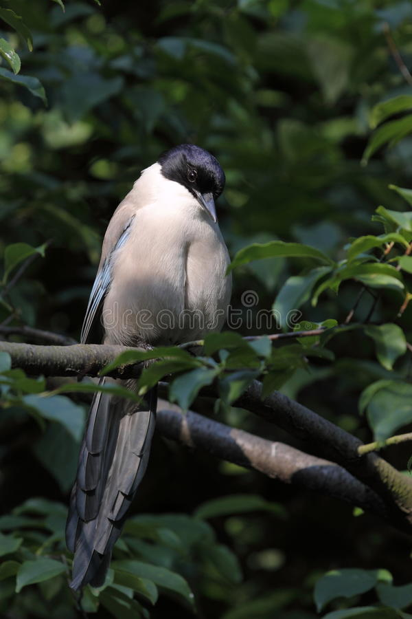 Azurblau-winged Elster lizenzfreies stockfoto