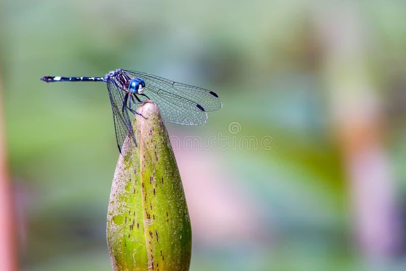 Azurblaue damselfy Aufstellung auf einer Wildwasserlilienknospe stockfoto