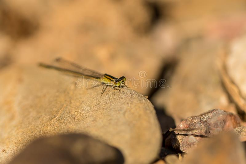 Azure Bluet Coenagrion Puella photos stock