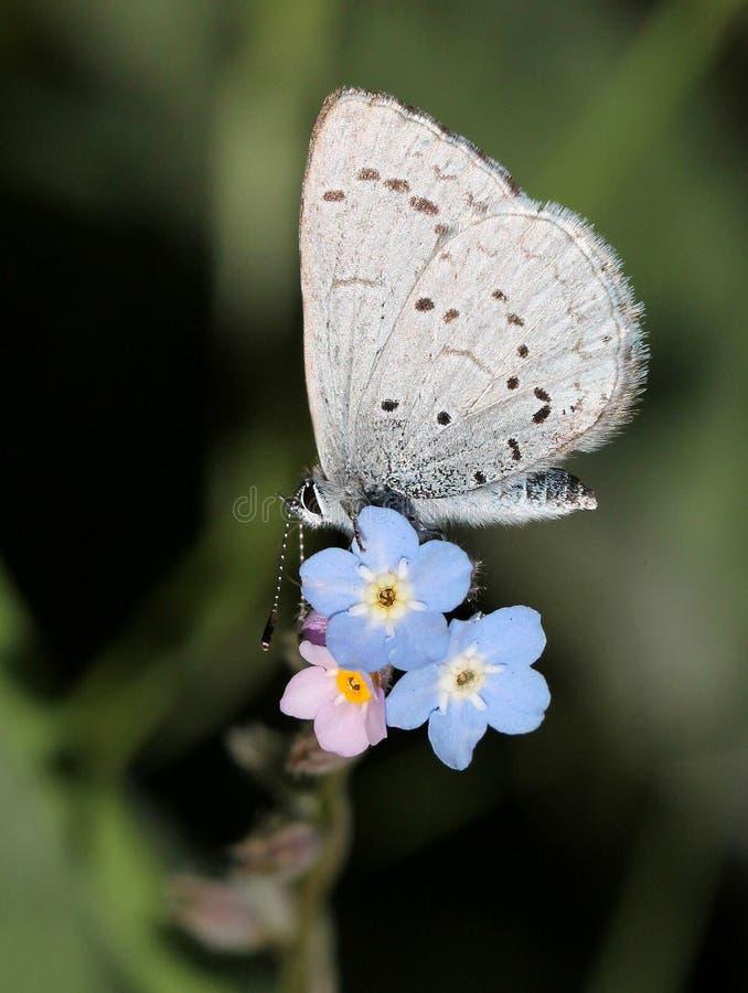 Azure Butterfly Auf Blauen Blumen Lizenzfreie Stockbilder