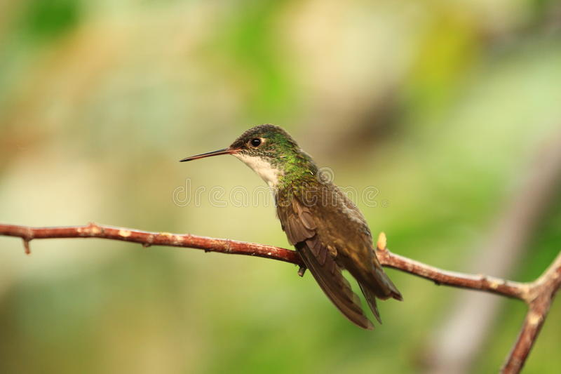 Download Azure-crowned hummingbird stock photo. Image of small - 26631784