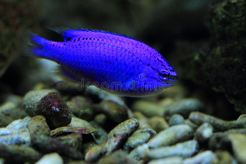 azure damselfish arkivbild
