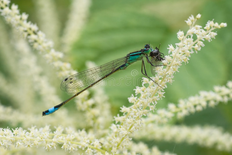 Azure damselfly. Sitting on a flower and eating his prey stock image