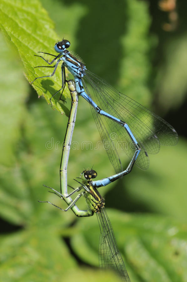 Download Azure Damselfly - Coenagrion Puella Stock Photo - Image: 14791240