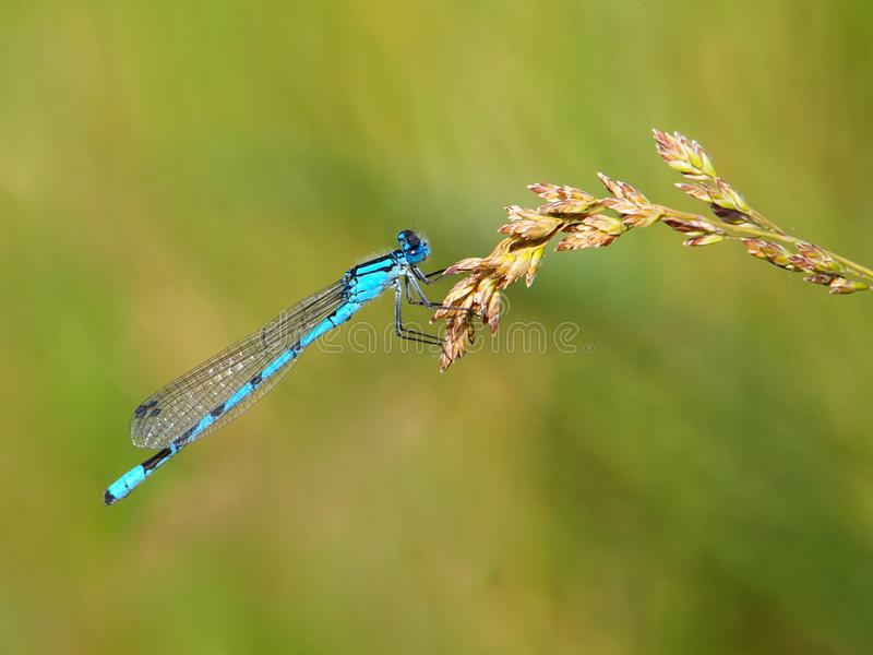 Azure damselfly, Coenagrion puella royalty free stock images