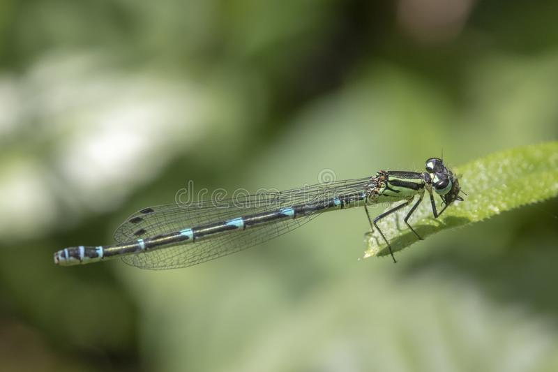 Azure damselfly coenagrion puella royalty free stock images