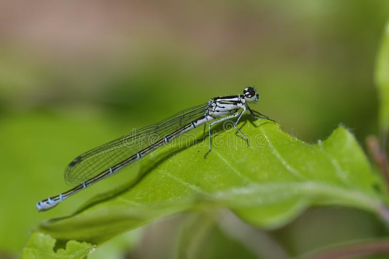 Azure Damselfly on a leave royalty free stock photo