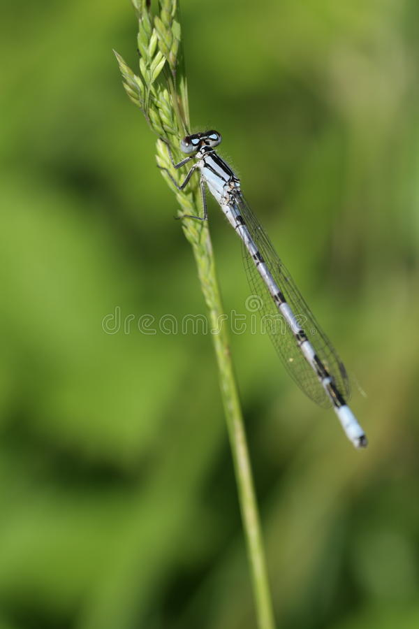 Azure damselfly royalty free stock photography