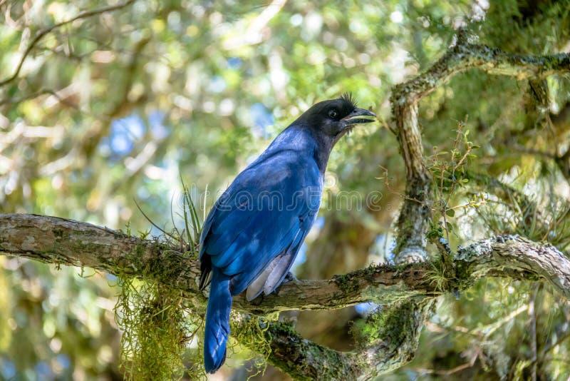 Azure Jay eller Gralha Azul fågel i den Itaimbezinho kanjonen på Aparados da Serra National Park - Cambara gör Sul, Rio Grande do arkivbild
