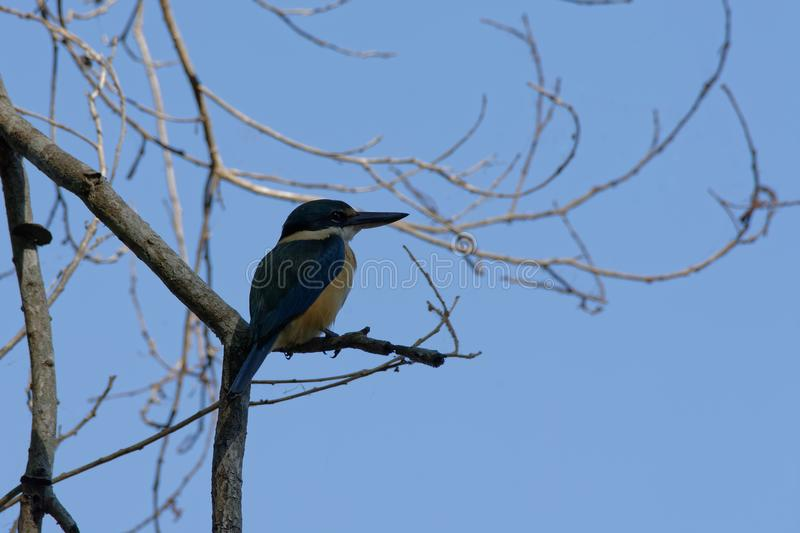 A Sacred Kingfisher Watching For Food. A Sacred Kingfisher todiramphus sanctus perched up high on a tree branch looking out for food at McMinns Lagoon, Northern stock photos
