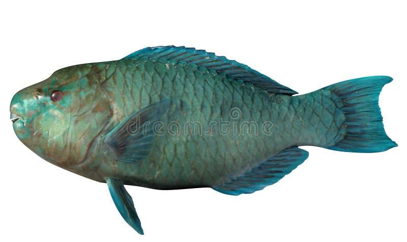 Azure Parrotfish. Fish isolated on white backgroundnd royalty free illustration