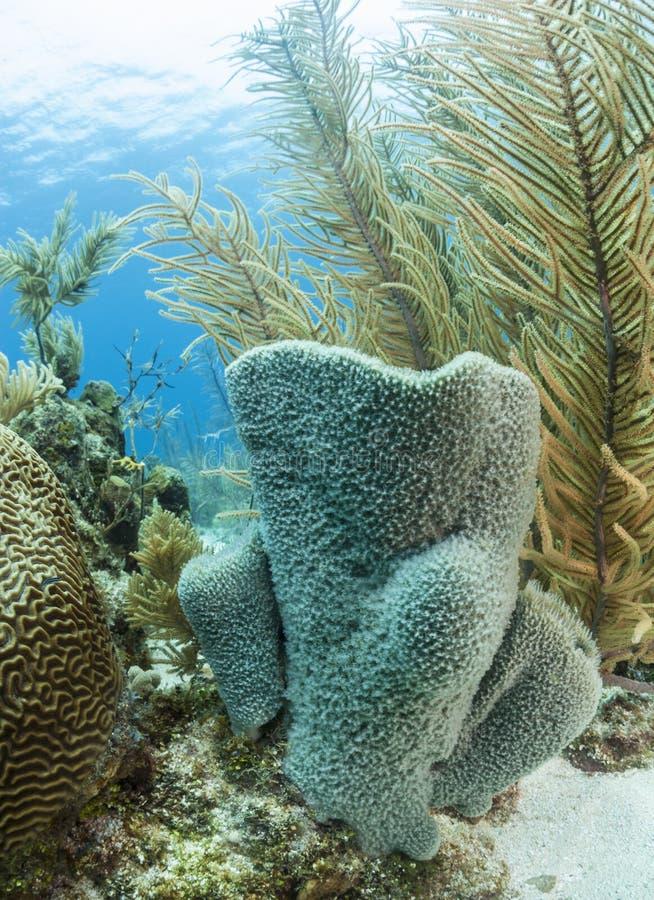 Azure Vase Sponge Callyspongia Plicifera Stock Image Image Of