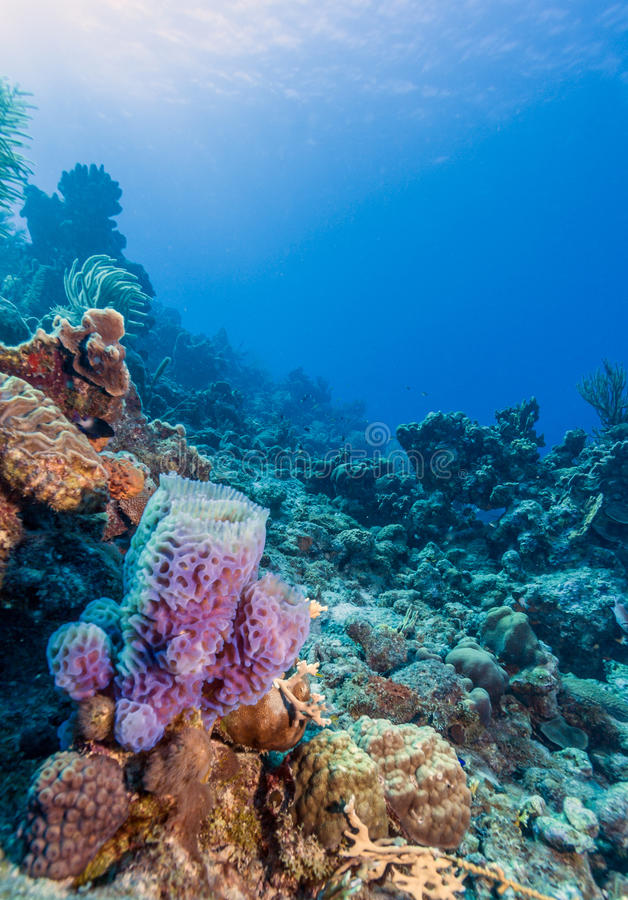 Azure Vase Sponge Callyspongia Plicifera Stock Image Image 87719825