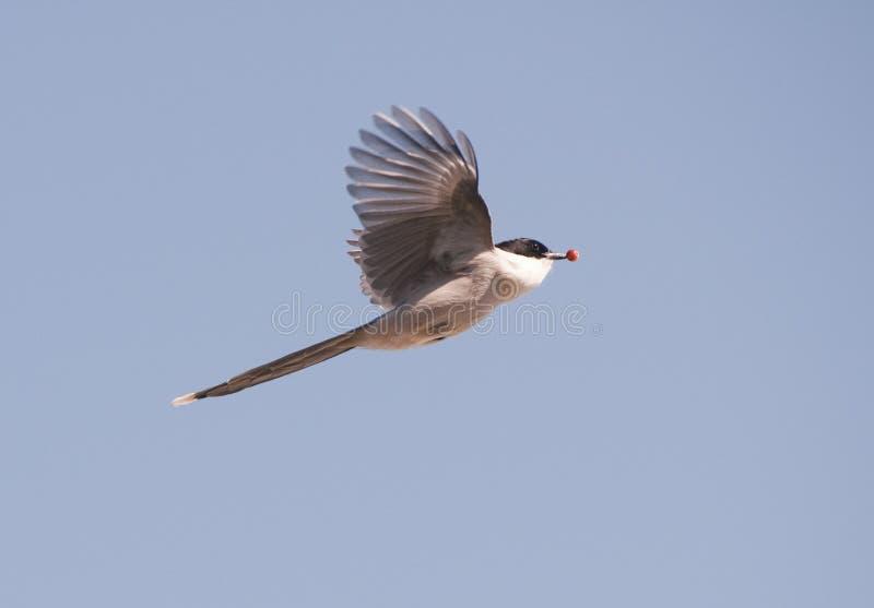 Azure-wing Magpie Stock Photos