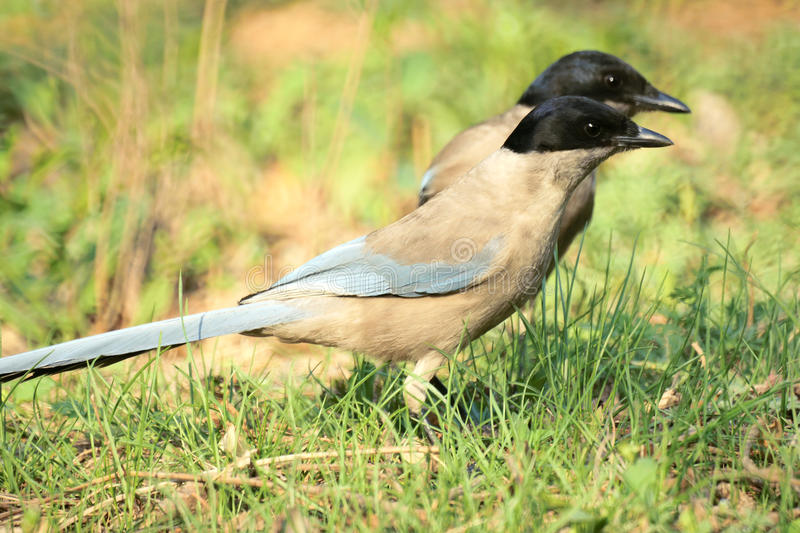 Download Azure-winged Magpie stock photo. Image of grassplot, cyanopica - 24518232