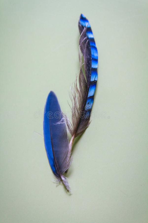 Azure-winged Magpie With Eurasian Jay Feathers. Coverts stock photography