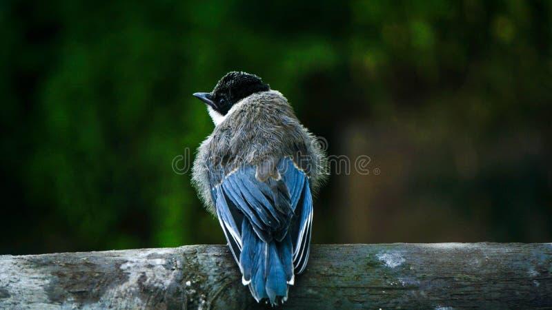 Azure Winged Magpie juvenil imagen de archivo libre de regalías