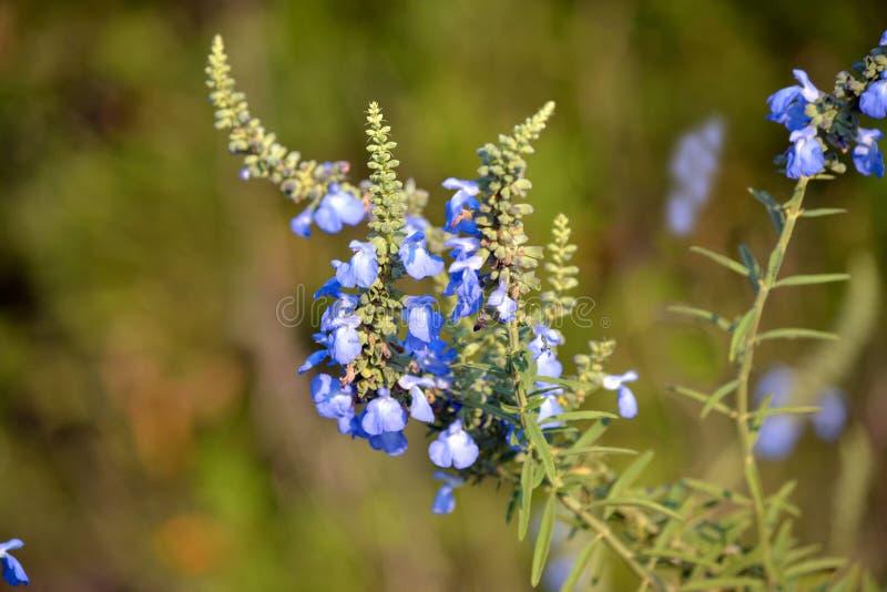 Azurea de Salvia imágenes de archivo libres de regalías