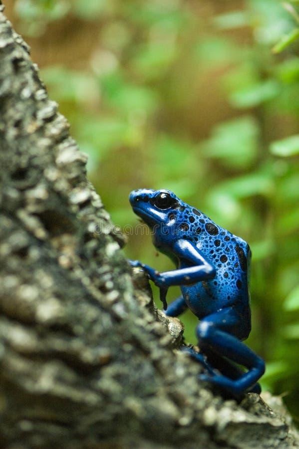 azureus błękitny strzałki dendrobates żaby jad obrazy royalty free