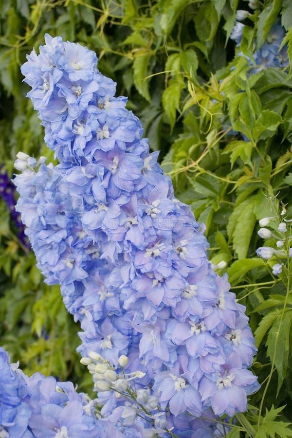 Azuurblauw ridderspoor stock fotografie